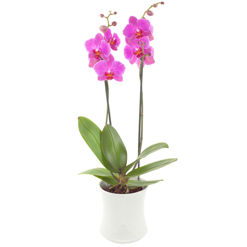 Roze orchidee in pot