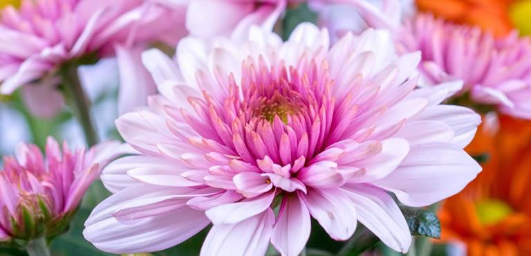 Send Chrysanthemums