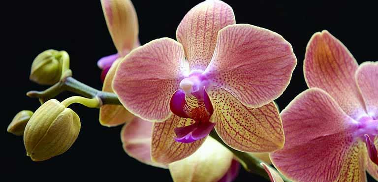 Phalaenopsis orchideeën