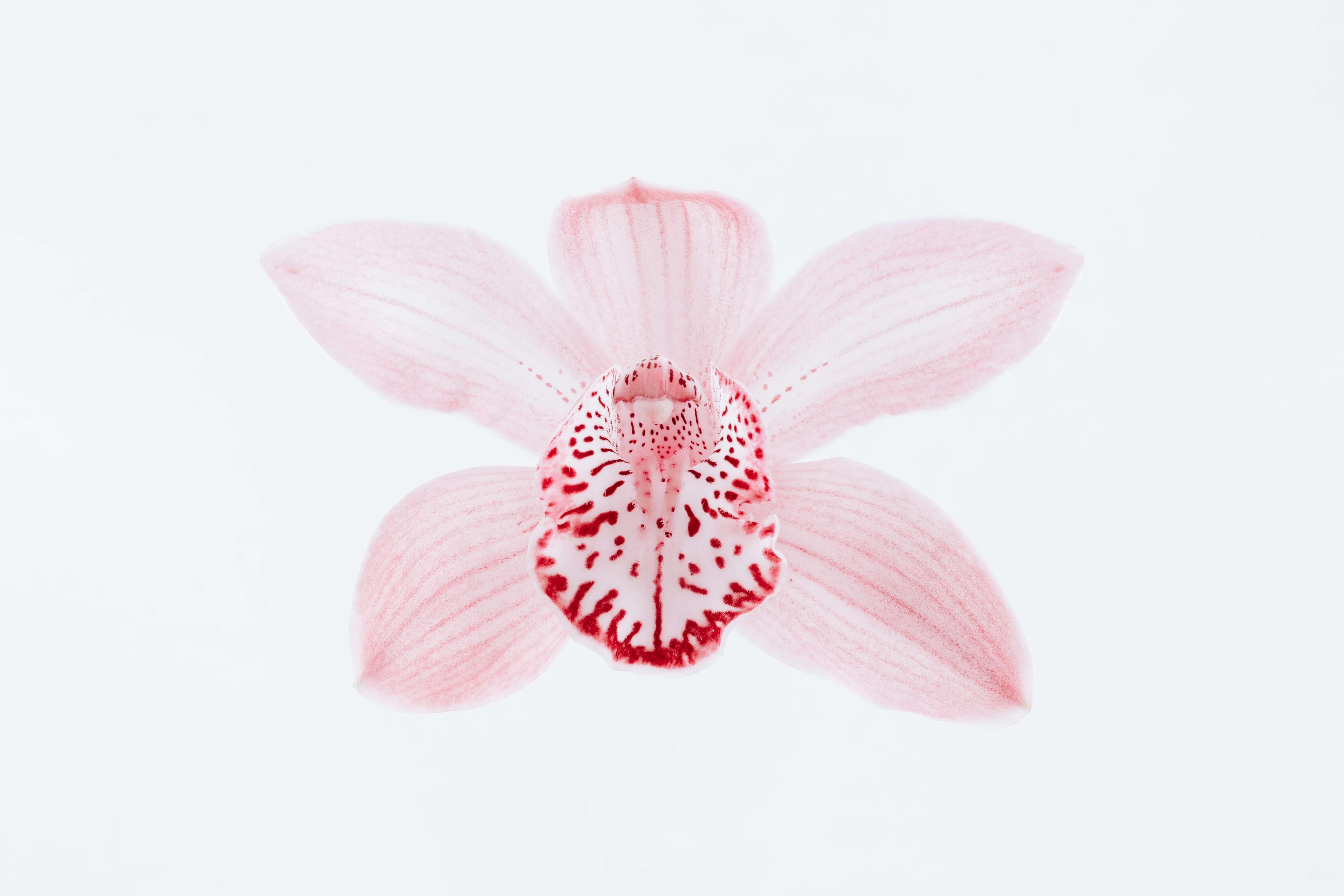 orchidee terrestrial
