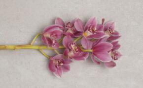 Orchidee: ijver, verfijning