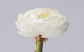 Ranunculus: Seduction, charm, bewitchment.