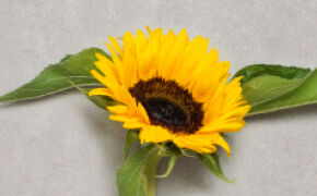 Sunflower: arrogance and pride