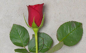 Red rose: passionate love