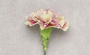 Carnation: freedom