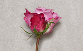 donker roze