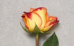 rode en gele rozen