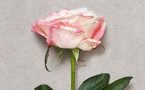 Licht rose rozen