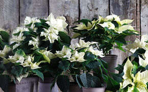 witter kerststerren in pot