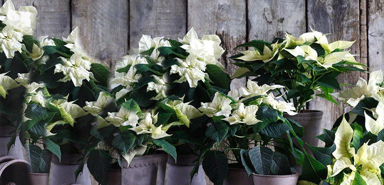 Kerstplanten sturen