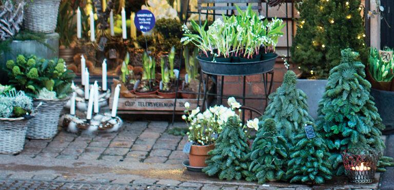 Send a Christmas plant